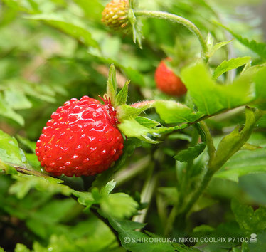 wild berry.jpg