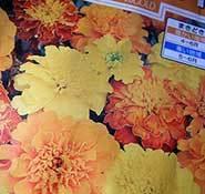 marigold_pac.jpg